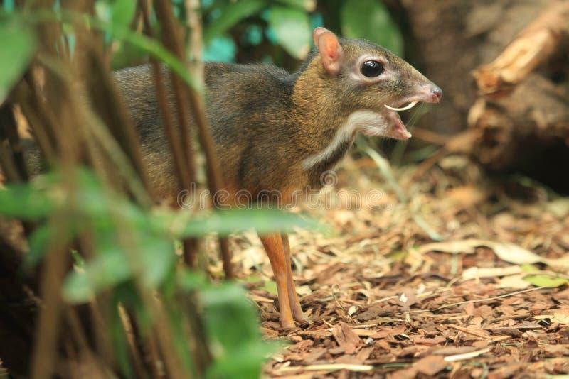Олени мыши Ява стоковое фото