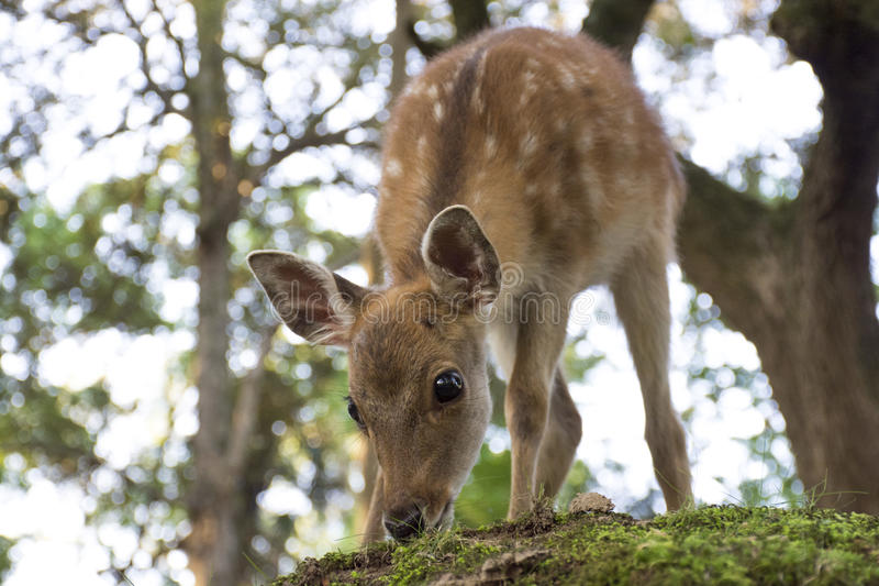 Олени младенца - Nara, Япония стоковые фотографии rf
