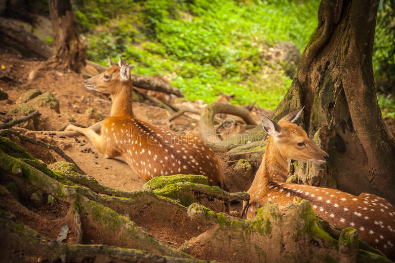 Олени отдыхая в лесе в тени деревьев стоковые изображения rf