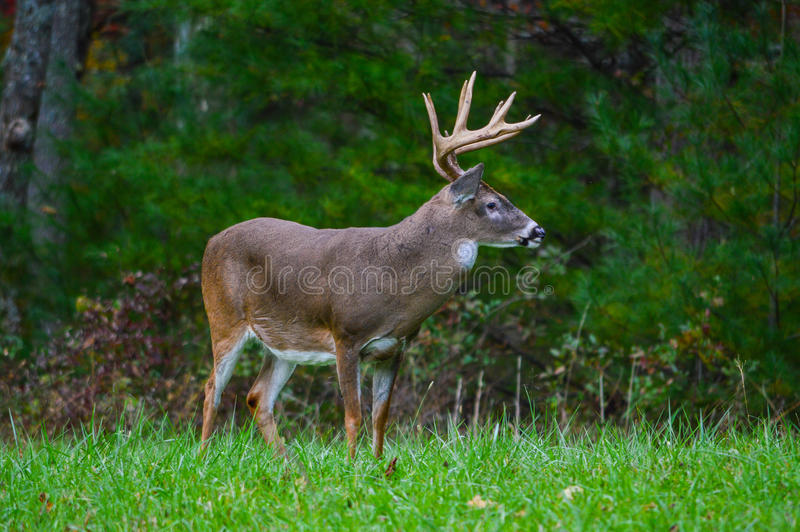 Олени самеца оленя стоковые фотографии rf