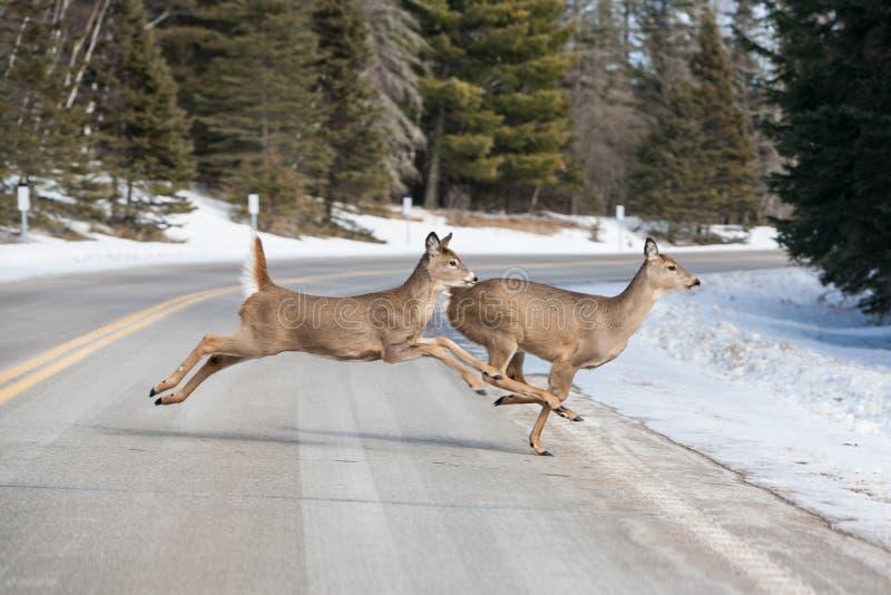 Олени скача через дорогу около национального парка Itasca стоковое фото rf