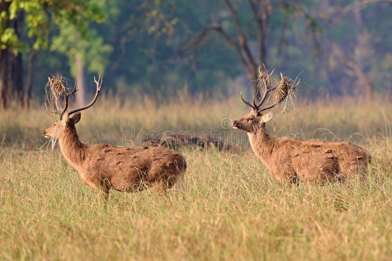 Олени Barasingha в среду обитания природы в Индии стоковая фотография