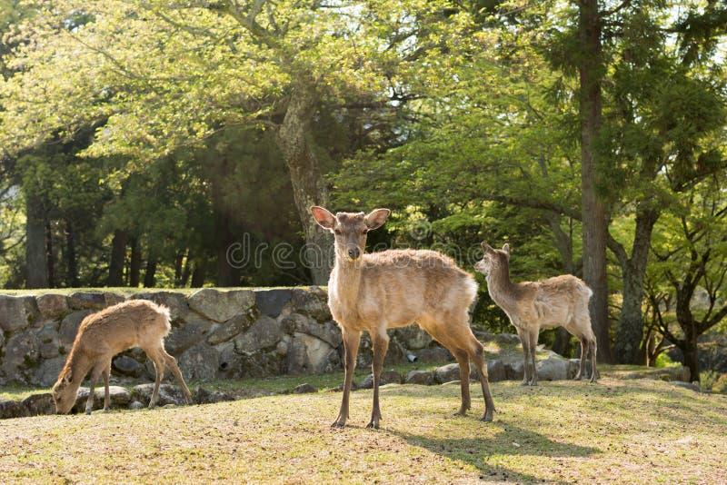 Download Олени Nara стоковое фото. изображение насчитывающей парк - 41660770
