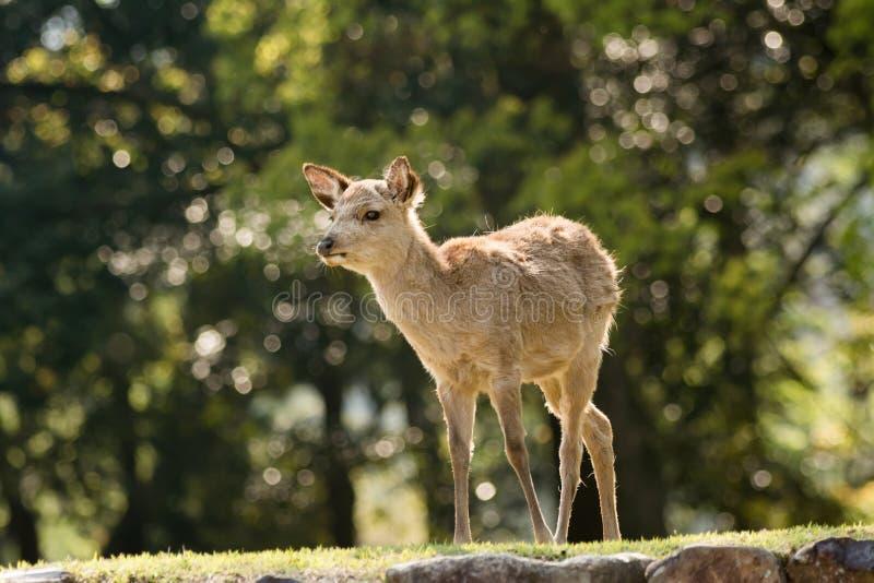 Download Олени Nara стоковое фото. изображение насчитывающей трава - 41660772