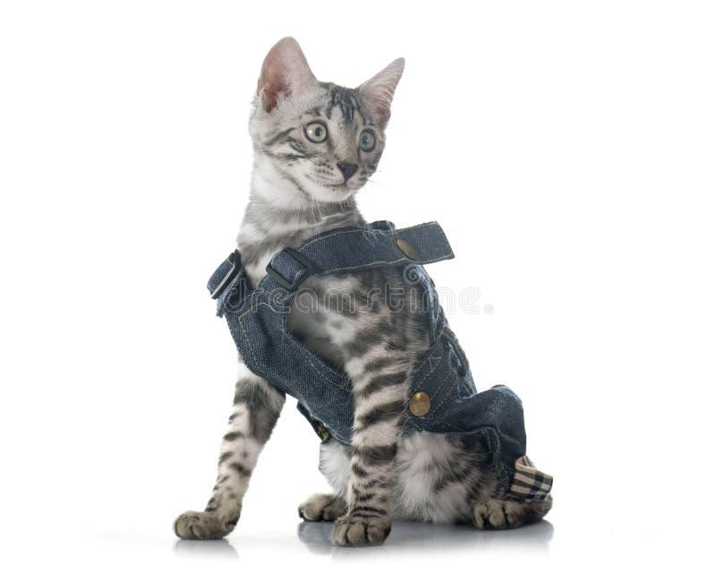 Одетый котенок Бенгалии стоковое фото rf