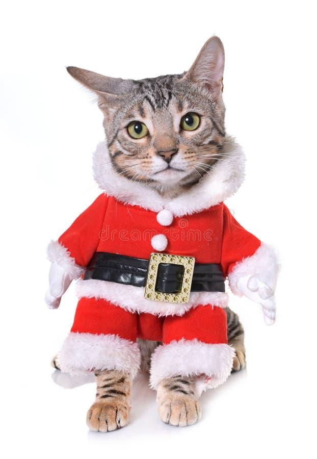 Одетый котенок Бенгалии стоковое изображение