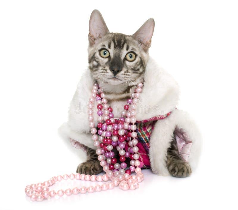 Одетый кот Бенгалии стоковое фото rf