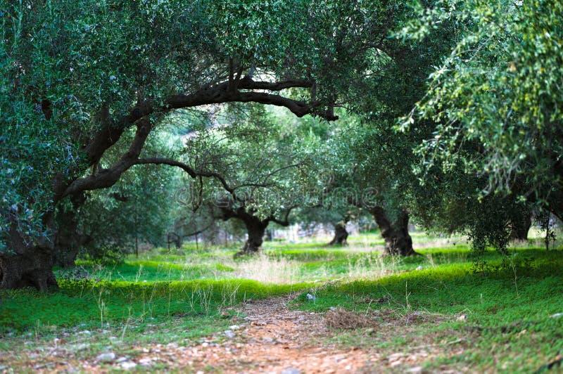 Оливковая роща, Крит, Греция стоковое изображение