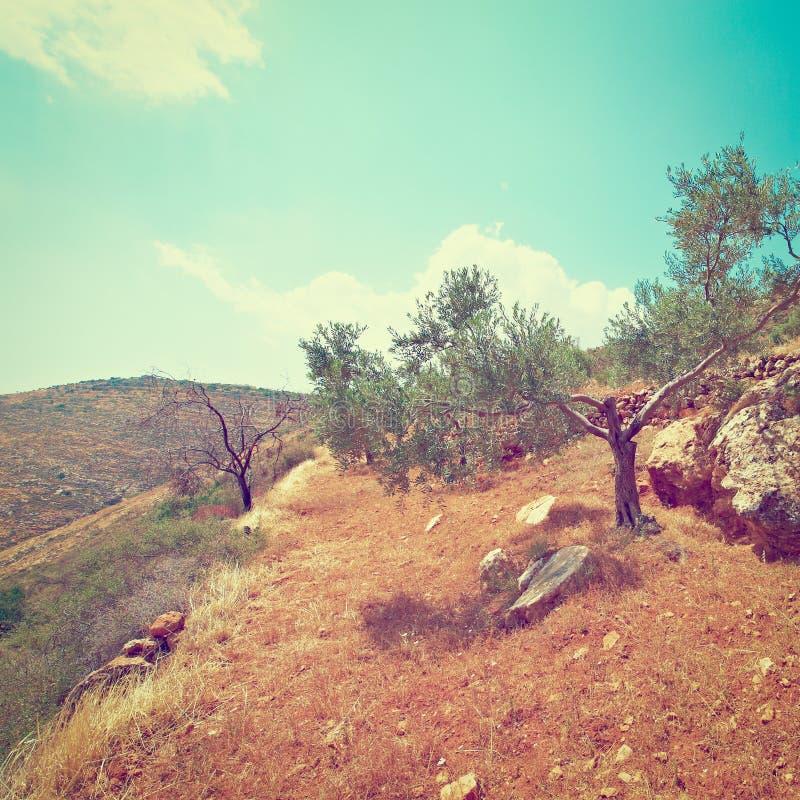 Download Оливковая роща стоковое изображение. изображение насчитывающей сад - 41657661