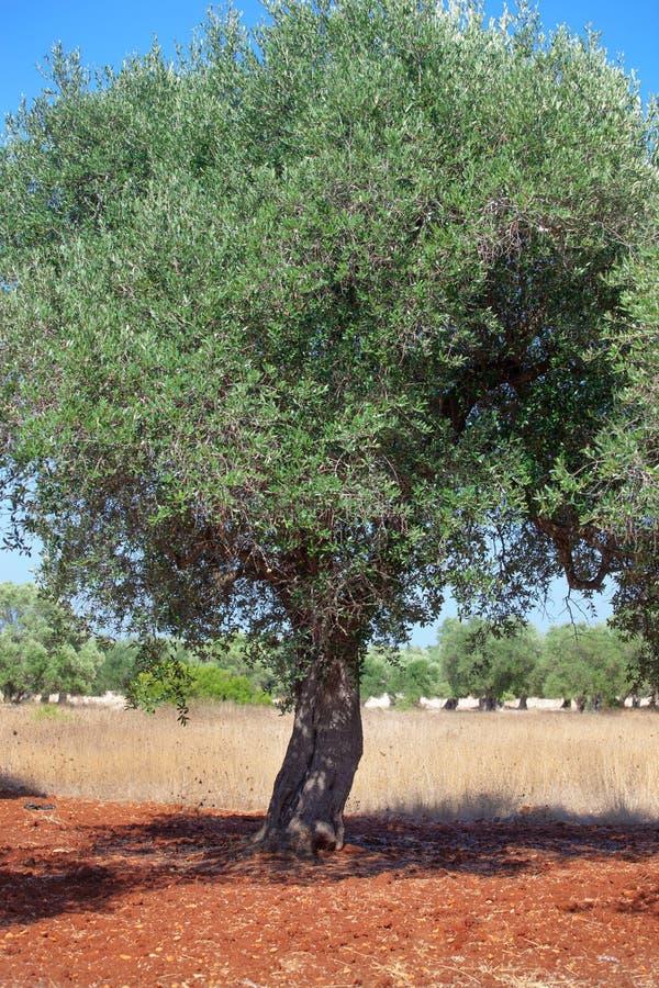 Оливковая роща стоковая фотография rf