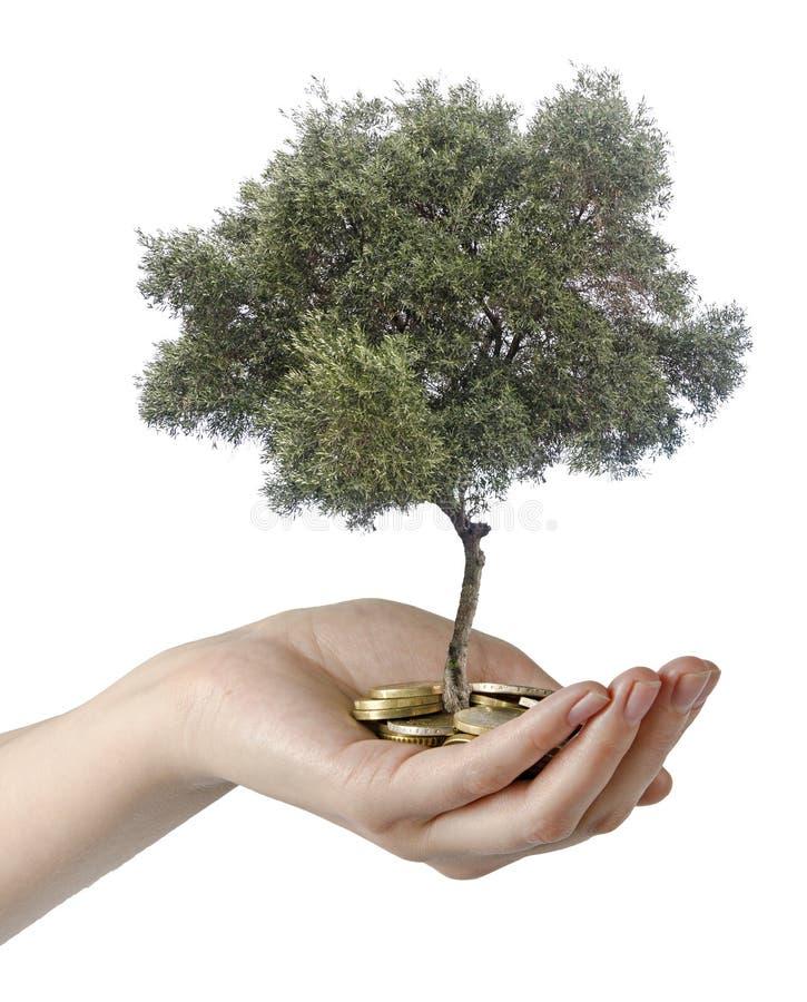 Оливковое дерево в ладони стоковые фотографии rf