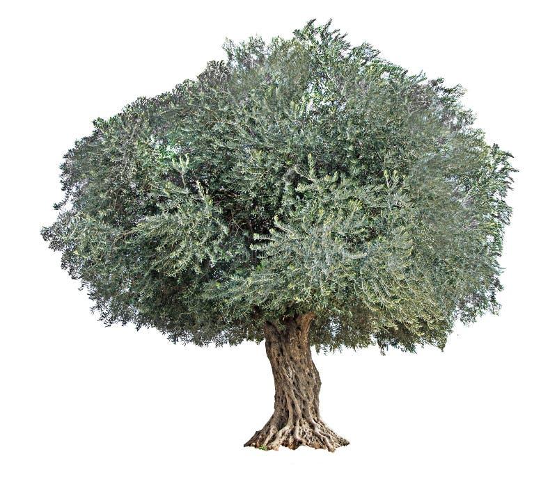 Оливковое дерево на белизне стоковое фото