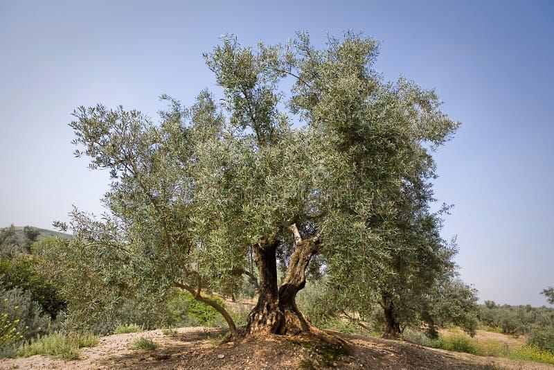 Оливковое дерево от picual разнообразия около Jaen стоковое фото rf
