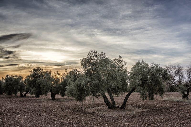 Оливковое дерево от picual разнообразия около Jaen стоковые фото