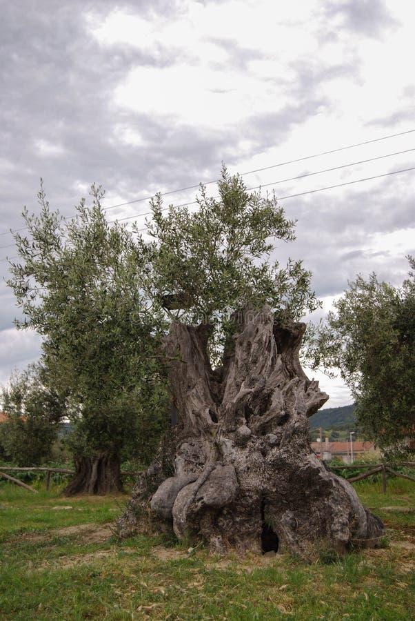 Оливковое дерево Centenarian в древесине стоковое изображение rf