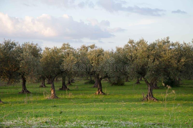 Оливковое дерево Centenarian в древесине стоковые изображения rf
