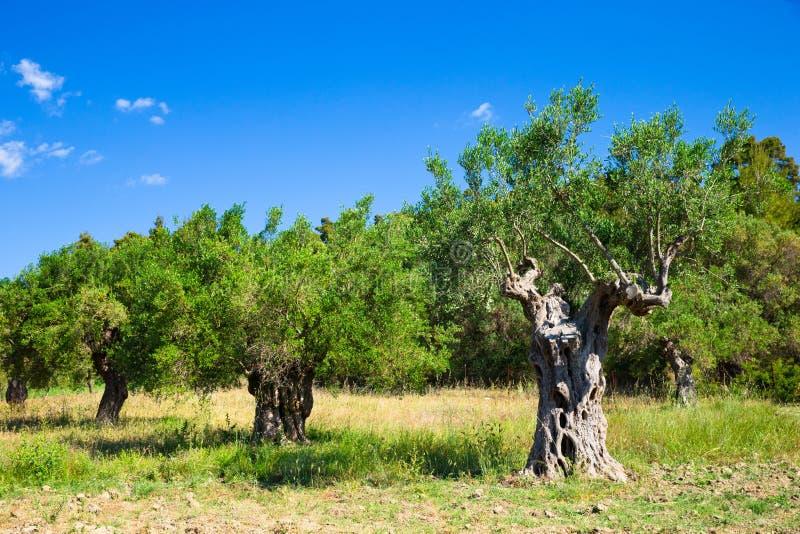 Download Оливковые дерева стоковое изображение. изображение насчитывающей поле - 33729711