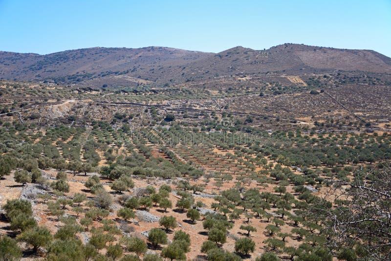 Оливковые рощи в горах, Крит стоковая фотография rf