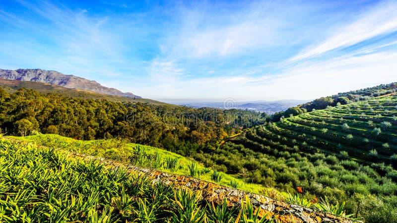 Оливковые рощи и виноградники окруженные горами вдоль дороги Helshoogte стоковое фото rf