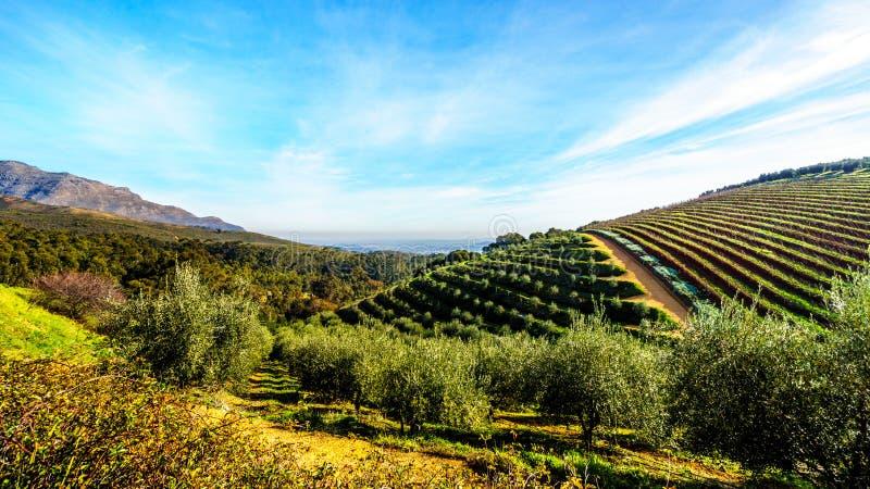 Оливковые рощи и виноградники окруженные горами вдоль дороги Helshoogte стоковые изображения rf