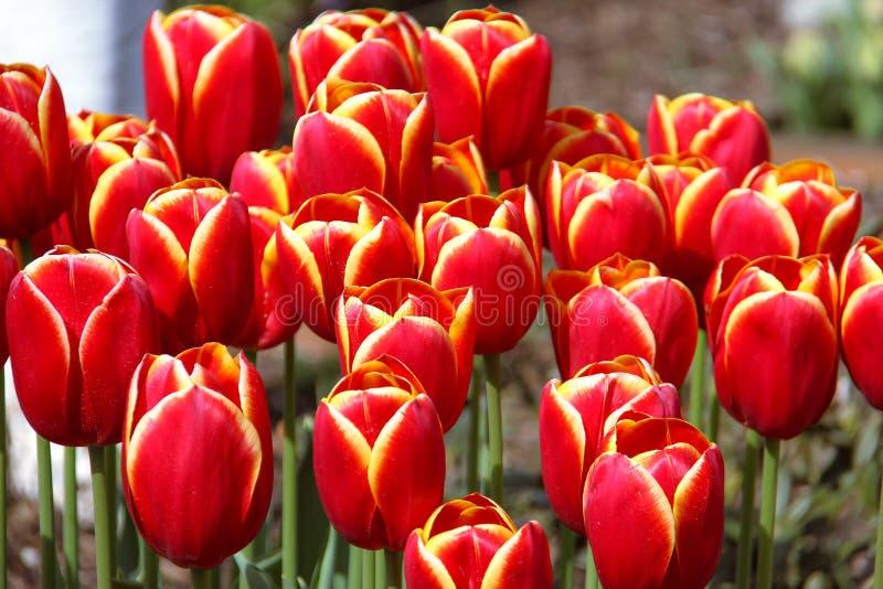 долина тюльпана skagit празднества стоковые изображения