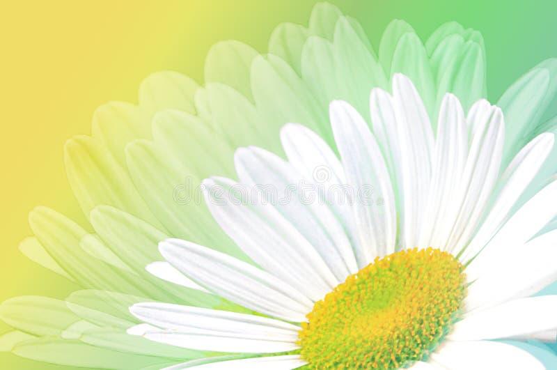 Одиночная белая маргаритка на зеленом цвете и желтом цвете бесплатная иллюстрация