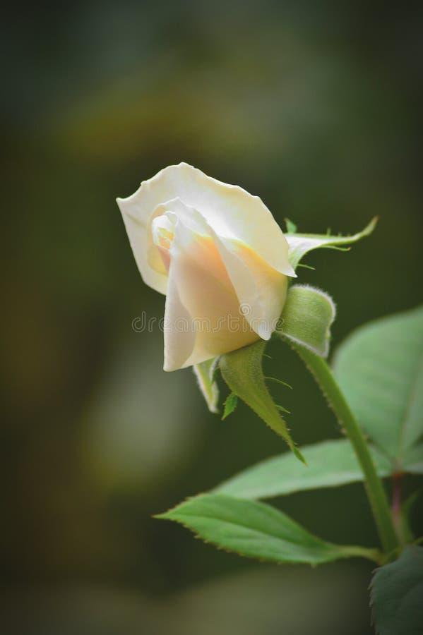Одиночная белая роза стоковые фото