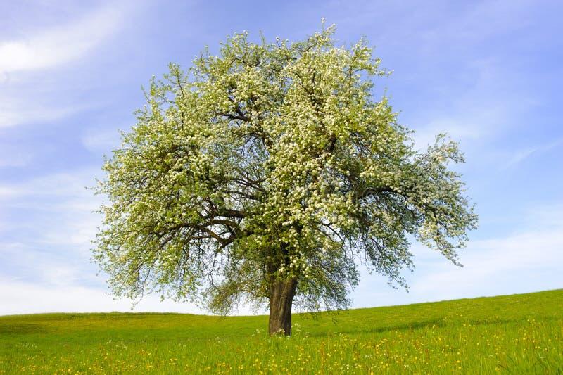Одиночная большая яблоня стоковое фото rf