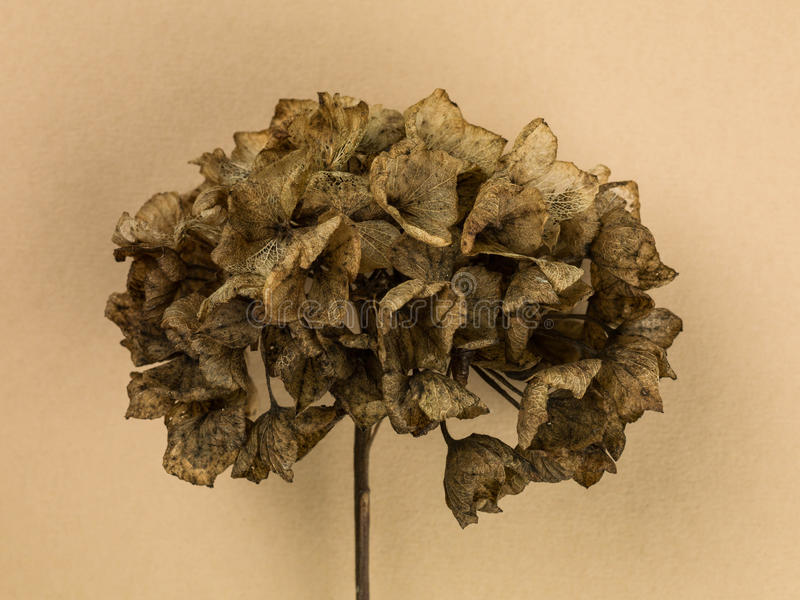 Одиночная мертвая голова цветка гортензии распадаться стоковое изображение