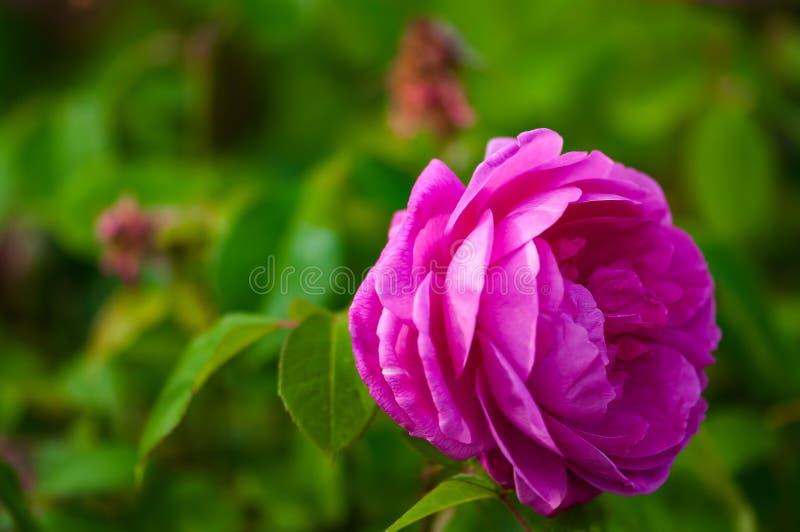 Одиночная яркая роза пинка и зеленый открытый сад предпосылки стоковые фото