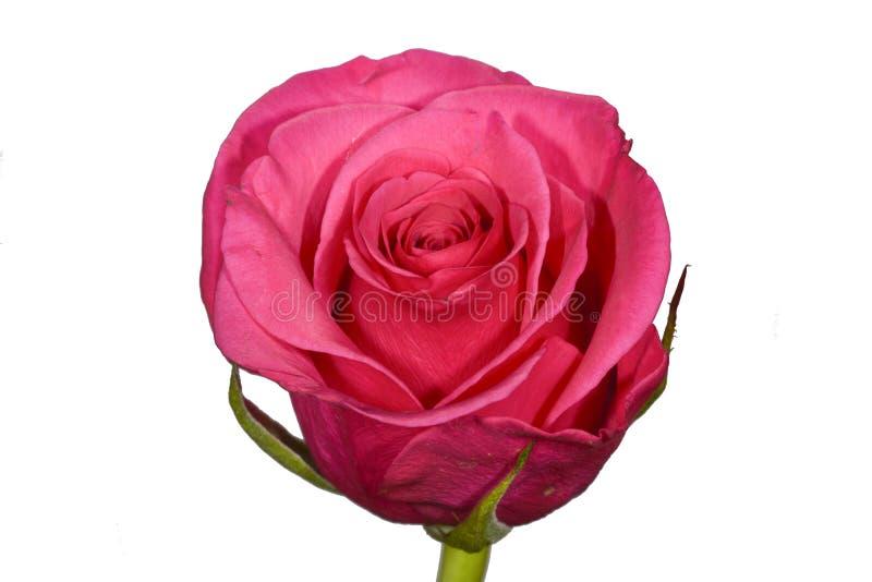 Одиночная dusky роза пинка на простой белой предпосылке стоковое фото