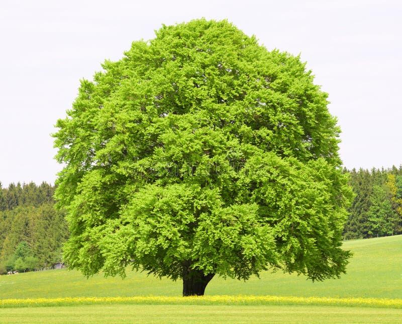 Одиночное большое старое дерево бука стоковая фотография