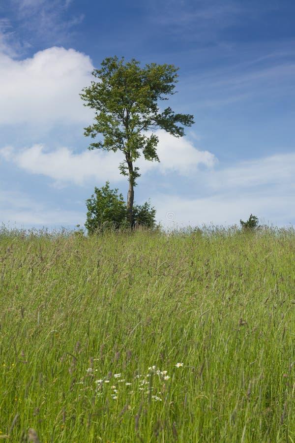 Одиночное дерево в поле стоковое изображение rf