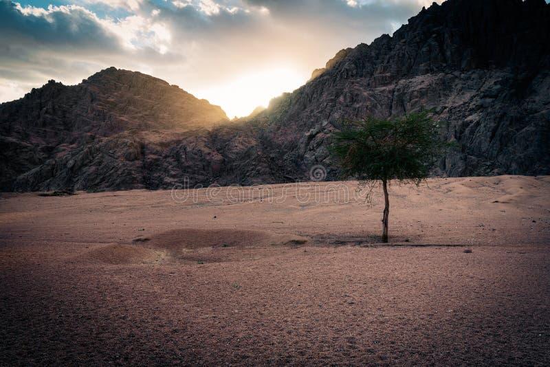 Одиночное дерево на заходе солнца, Египет стоковая фотография
