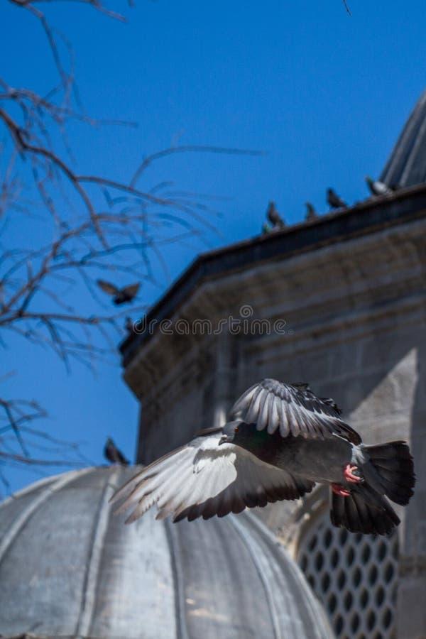 Одиночное летание голубя в воздухе стоковые фотографии rf