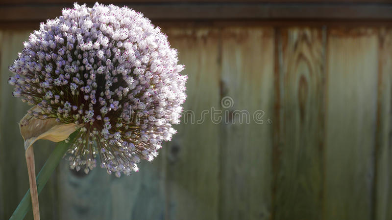 Одиночное цветение лук-порея стоковое фото
