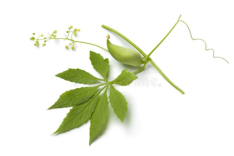 Одиночные зеленые одичалые огурец, цветки и лист стоковые изображения rf