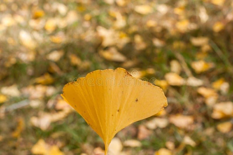 Одиночные лист Gingko в осени стоковое изображение