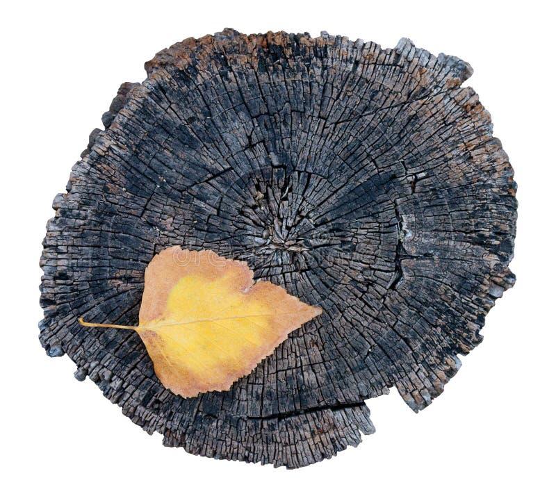 Одиночные красочные лист и старый пень дерева стоковые фотографии rf