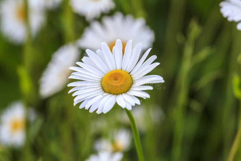 Download Одиночный белый и желтый Camonile цветок Стоковое Фото - изображение насчитывающей бело, завод: 41662072