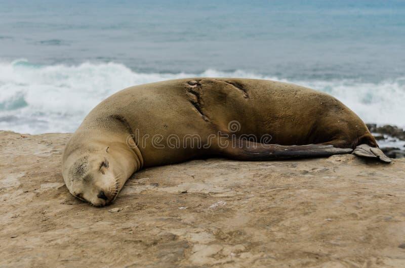 Одиночный взгляд со стороны морсого льва спать стоковое изображение