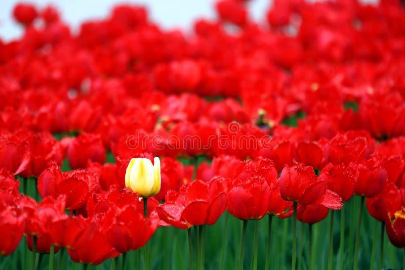 Одиночный желтый тюльпан растет среди много красных тюльпанов стоковая фотография