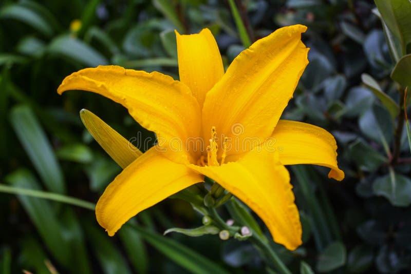 Одиночный красивый желтый цветок лилии стоковое изображение