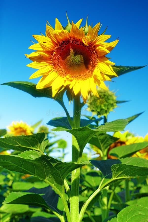 Одиночный красивый солнцецвет в поле лета стоковая фотография