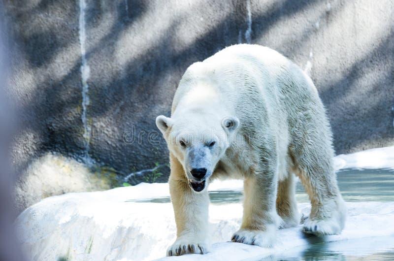 Одиночный полярный медведь в зоопарке стоковое фото