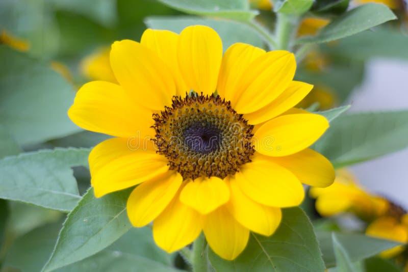 Одиночный солнцецвет в саде стоковое фото