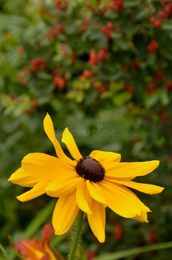 Одиночный солнцецвет с красным зацветенным кустом позади стоковые фотографии rf