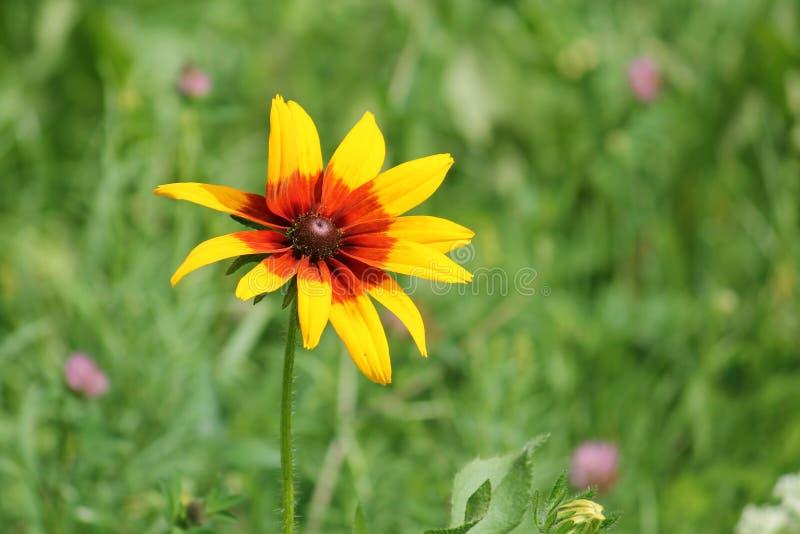 Одиночный цветок желтых coneflower или Rudbeckia на зеленой предпосылке стоковые фотографии rf