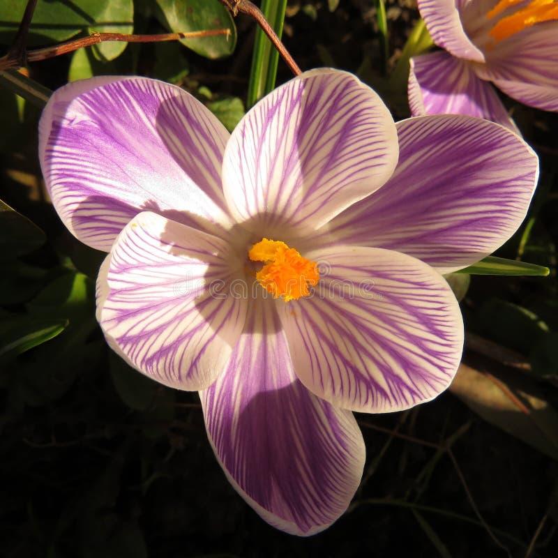 Одиночный цветок крокуса в солнечности стоковые изображения