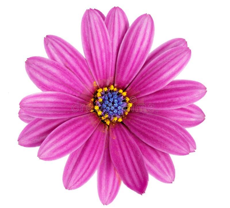 Одиночный цветок Gazania. (Род сложноцветные Splendens). Изолированный стоковое изображение